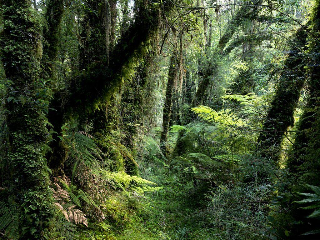 bosque valdiviano 2